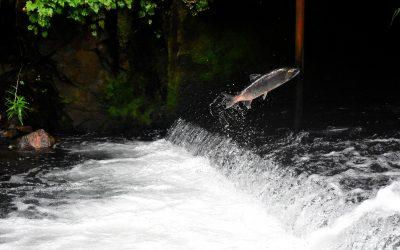 Was hat der Lachs mit der heutigen Beschleunigung zu tun?!